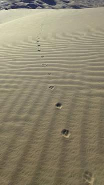 desert coyote was here