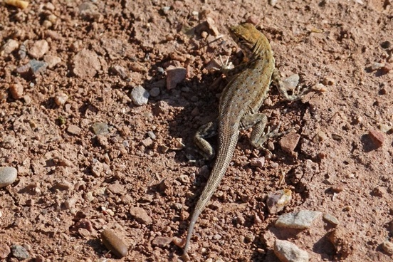 desert iguana lizard wild life