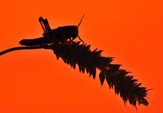 desert locust 372