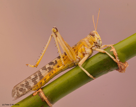 desert locust