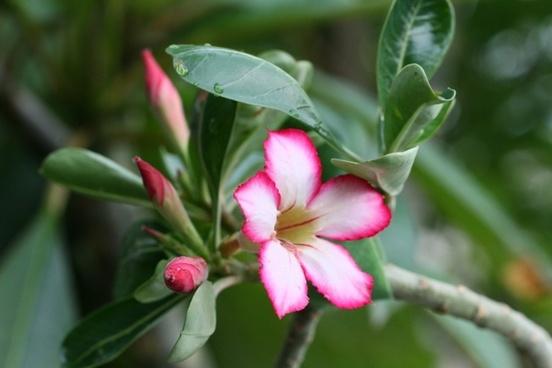 desert rose flower flowers