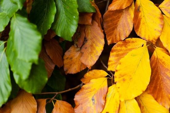 detail of beech leaves
