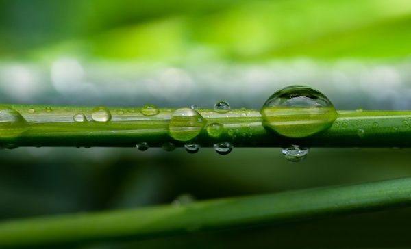 dew drops on reed