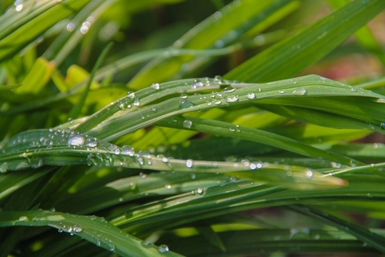 dew water droplets on blades of grass
