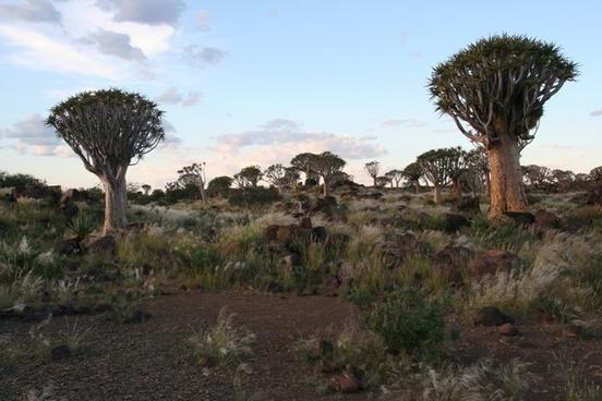 dichotoma aloe trees