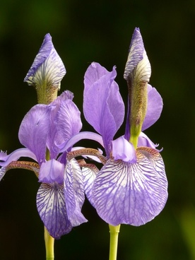 different colored irises iris plant