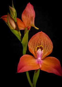 disa uniflora hybrid