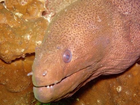 diving moray giant moray