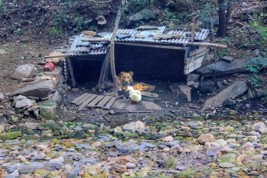 dog and goose near beijing china
