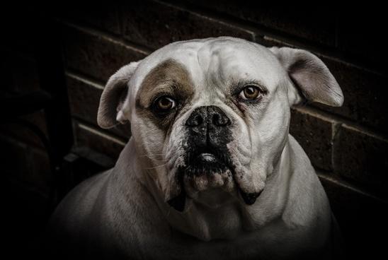 dog animal boxer