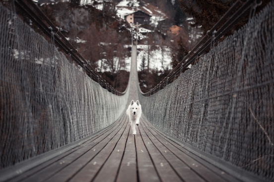 cute white dog running on wooden hanging bridge