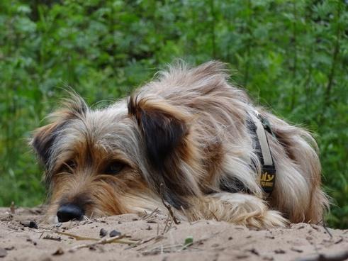 dog animal race