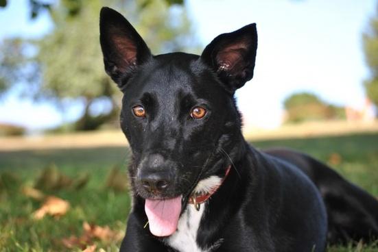 dog black pet