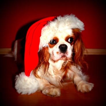 dog christmas christmas dog