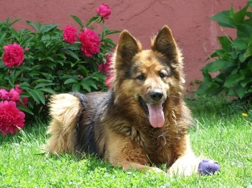 dog german shepherd garden