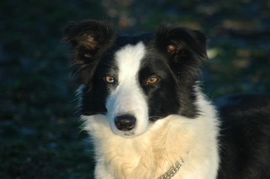 dog head border collie
