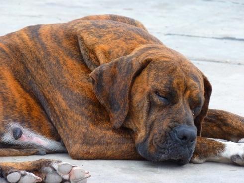 dog large brown