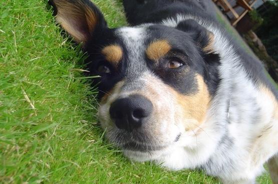 dog lazy animal