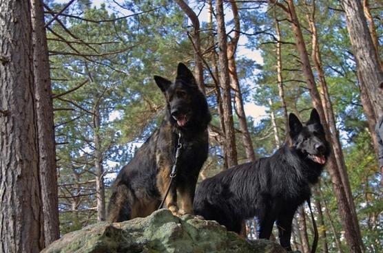 dog old german sch�fer dog