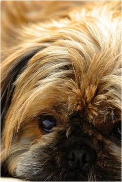 dog shih cricket pet