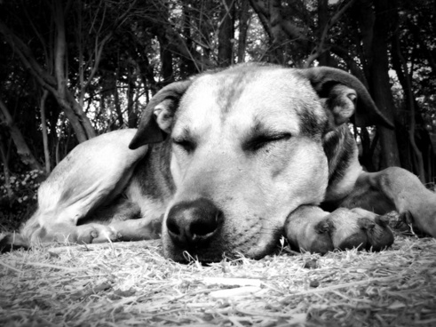 dog sleeping siesta