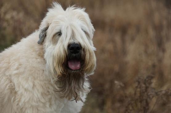 dog terrier wheaten terrier