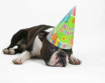 dog wearing a birthday hat stock photo
