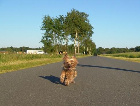 dog yorkshire terrier run