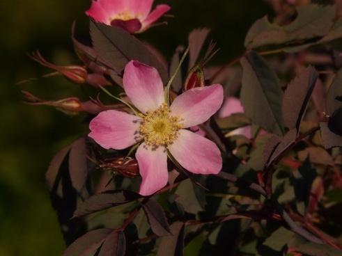 dog-rose hagros or wild rose pink