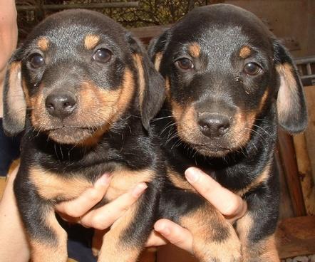 dogs dachshund puppy
