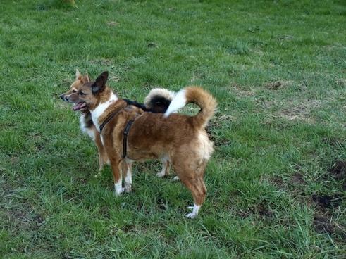 dogs hybrids male