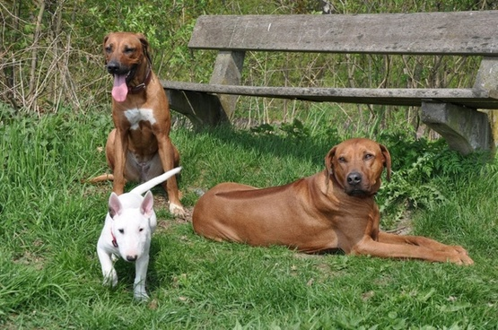 dogs pets bull terrier