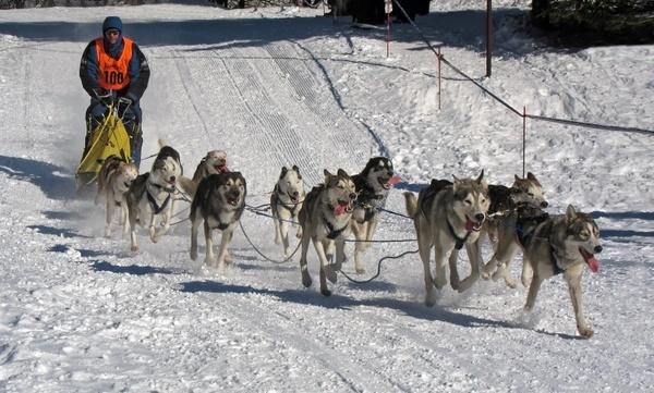 dogs race musher