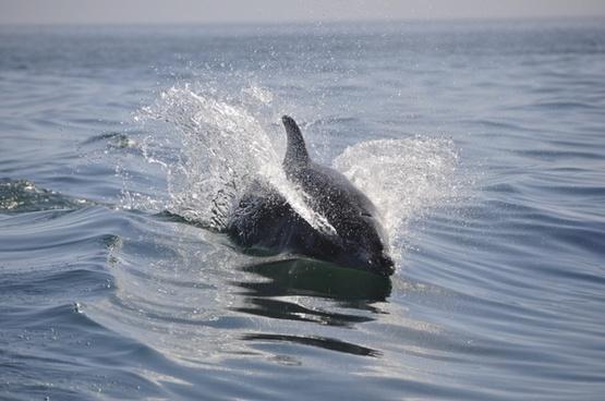 dolphin sea pets