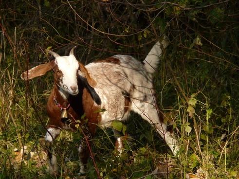 domestic goat capra aegagrus hircus goat
