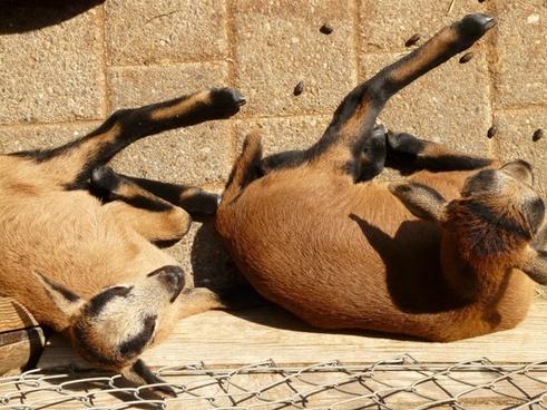 domestic goat goat livestock