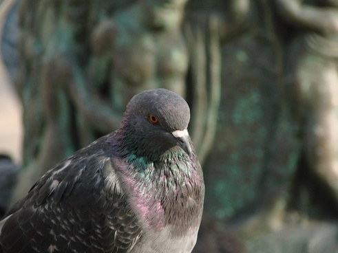 dove pigeons wing