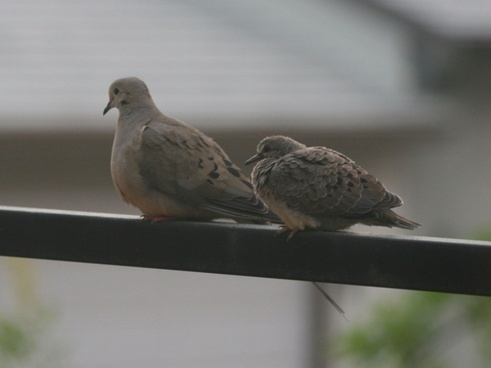 doves on a cool foggy morning