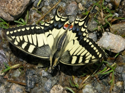 dovetail butterfly insect
