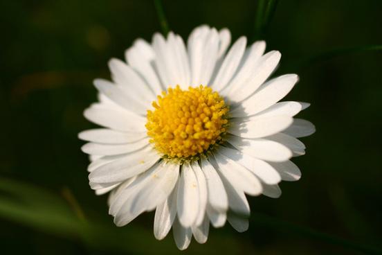 dozy daisy