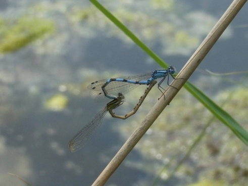 dragonflies insect water