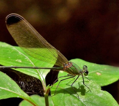 dragonfly black-tipped forest glory insect