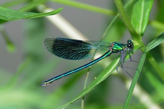 dragonfly demoiselle insect
