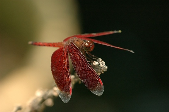 dragonfly insect red dragonfly