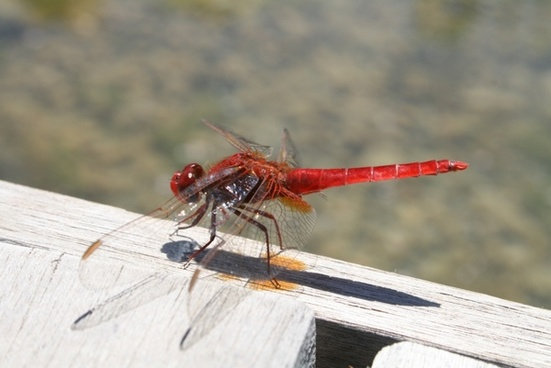 dragonfly insects red dragonfly