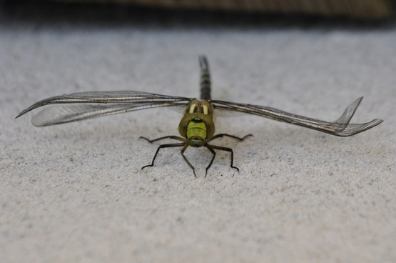 dragonfly parthenope nature
