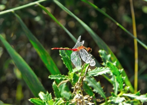 dragonfly red nature