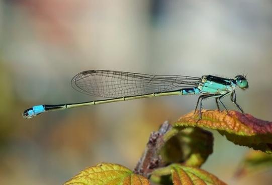 dragonfly senegal-pechlibelle ischnura senegalensis