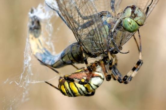 dragonfly spider wasp spider