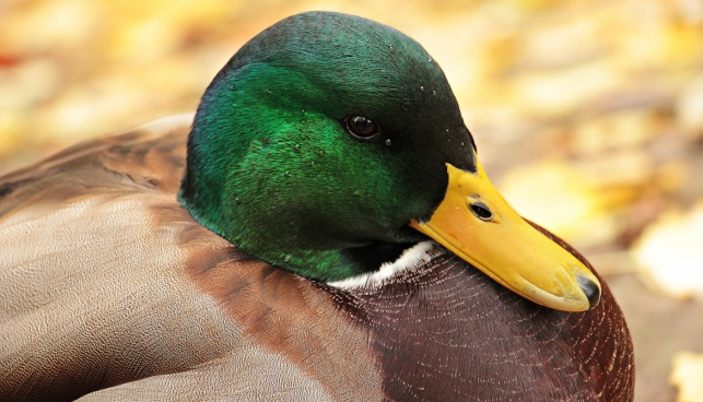closeup of beautiful duck with green head